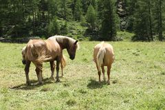 Three bay horses on a grazing land on italian alps in a sunny day Stock Images