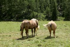 Three bay horses on a grazing land on italian alps in a sunny day Stock Image