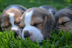 Three beagle puppies sleeping on the lawn. Three beagle puppies sleeping on the green grass Royalty Free Stock Images