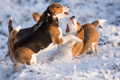 Three Beagles having fun Royalty Free Stock Photography