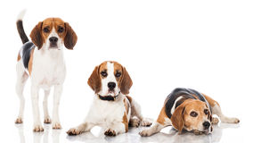 Three beagles Royalty Free Stock Photo