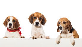 Three beagles Stock Photos