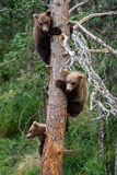 Three bear cubs in a tree Royalty Free Stock Image