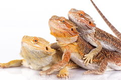 Three Bearded Agamas Stock Photo