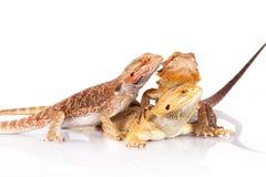 Three bearded agamas lizards Royalty Free Stock Photo