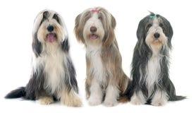 Three bearded collie Stock Photography