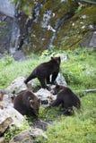 Three bears Stock Photo