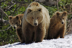 Three bears Royalty Free Stock Image