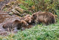 Three bears Stock Image