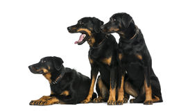 Three Beaucerons in front of a white background Royalty Free Stock Images