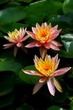Three beautiful asian tropical water lilies in a pond. Beautiful three tropical water lilies surrounded by round lily pads in a garden pond royalty free stock images