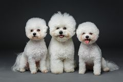Beautiful bichon frisee dogs. Three beautiful bichon frisee dogs sitting over black background. copy space royalty free stock photo