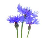 Three Beautiful Blue Cornflowers Stock Image