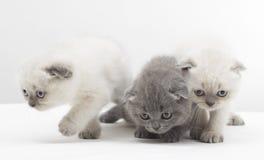 three beautiful British kitten Stock Image