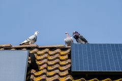 Free Three Beautiful Carrier Pigeons Flirt On The Ridge Of The Roof With Solar Panels Royalty Free Stock Photo - 147315285
