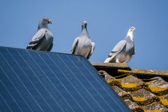 Free Three Beautiful Carrier Pigeons Flirt On The Ridge Of The Roof With Solar Panels Royalty Free Stock Photo - 147315445