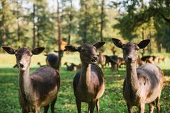 Three beautiful curious roes stand in the background of blurry herd in sunny autumn park stock image
