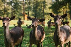 Funny animals in a natural habitat. Three beautiful curious roes stand in the background of blurry herd in sunny autumn stock photography