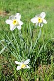 Three flowers on daffodils on green grass royalty free stock images