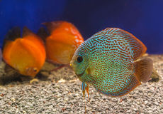Three beautiful discus of different colors in the aquarium Royalty Free Stock Images