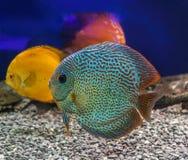 Three beautiful discus of different colors in the aquarium Stock Image