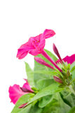 Three beautiful flower Mirabilis Stock Images