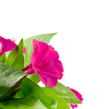 Three beautiful flower Mirabilis Stock Photography