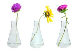 Flowers in conical flasks royalty free stock photos