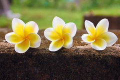 Three beautiful frangipani (plumeria) flowers Stock Photo
