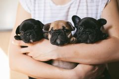 Portrait of three adorable bulldog puppies stock images