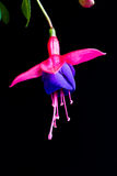 Three Beautiful Fuchsia Flowers Isolated on Black Background Hanging from the top stock image