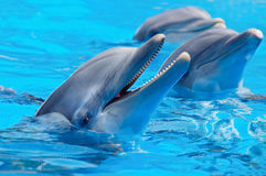 Three beautiful and funny dolphins. During an exhibition in the water Stock Photos