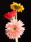 Three beautiful gerbera daisy flowers Stock Images