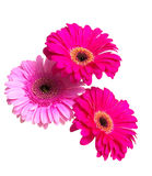 Three beautiful gerbera flower isolated on white background Royalty Free Stock Photos