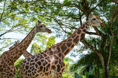 Three beautiful Giraffes showing its long neck Stock Images
