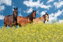 Horses on a summer day Royalty Free Stock Images