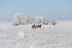 Three beautiful horses standing in a snow covered field. Horizontal image of three beautiful horses standing in a snow covered pasture behind the fence with a Royalty Free Stock Photos