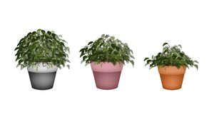 Three Beautiful Houseplant in Terracotta Flower Pots Stock Image