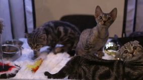 Three beautiful kittens of expensive breed playing with toys during cat show. Stock footage stock video