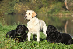 Three labrador retrievers in front of the water Stock Image