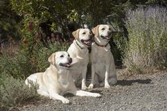 Three Beautiful Labs Posed in a Beautiful Garden royalty free stock image