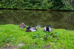 Three beautiful mallard ducks posing for a photo. Royalty Free Stock Images