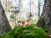 Three beautiful orange-cap boletus standing on the hummock of moss between the trunks of birch on the background of coniferous for Royalty Free Stock Images