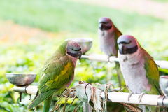 Three beautiful parrots Royalty Free Stock Image