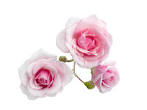 Three beautiful pink roses. Three pink roses with dew drops isolated on a white background Royalty Free Stock Photography