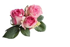 Three Pink and White Roses with Leaves Isolated on White. Three beautiful pink and white rose flowers with leaves isolated over a white background with clipping stock photos