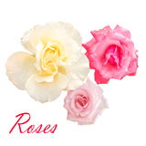 Three beautiful pink and white roses. On a white background Royalty Free Stock Photo