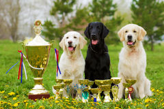 Three beautiful purebred dogs Labrador Retriever and two Golden Stock Photos