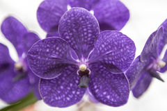 Three beautiful purple flower orchid on a branch close-up. Stock Photography