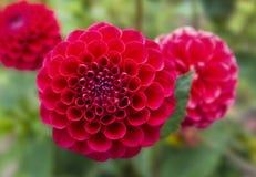 Three beautiful red dahlia flowers Stock Image